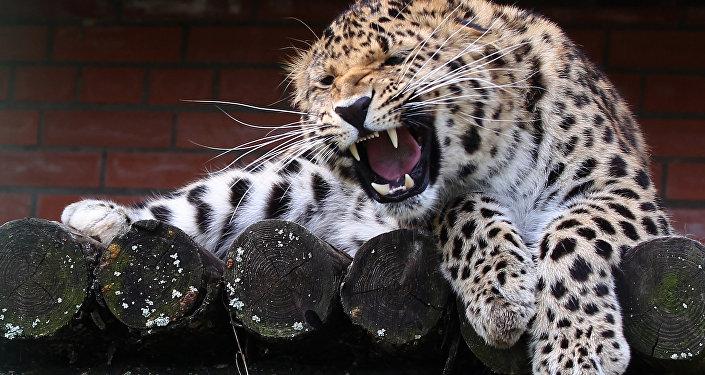 世界最大遠東豹保護中心在濱海邊疆區成立