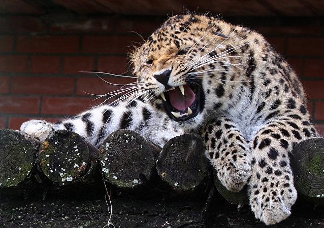 一只远东豹