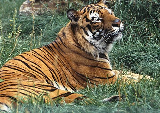 世界自然基金会:野生虎数量数十年来首次增至3900只