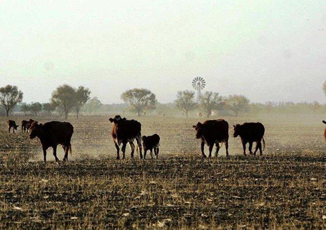 俄科学家研制出加速牛类生长的食品添加剂