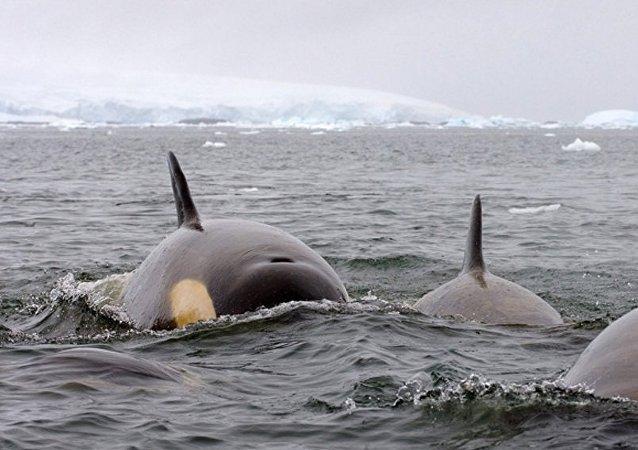 俄萨哈林州4头被困虎鲸得救