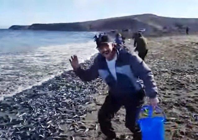 俄萨哈林州海鱼自行上岸