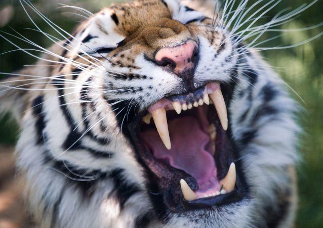 西班牙旅游城市贝尼多姆动物园的老虎杀死了公园员工