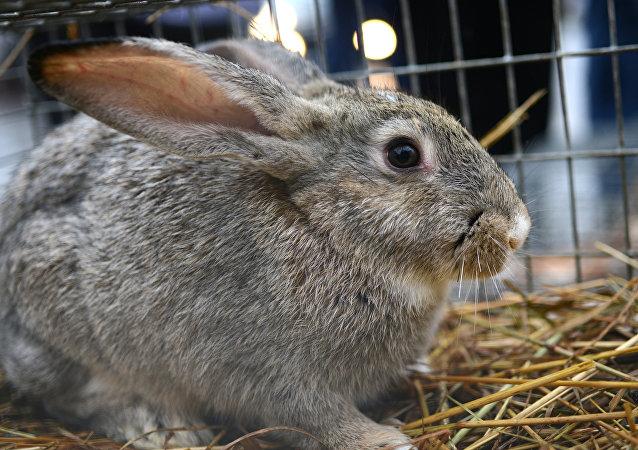 俄中公司签署关于在俄沃罗涅日州成立兔肉生产厂合同