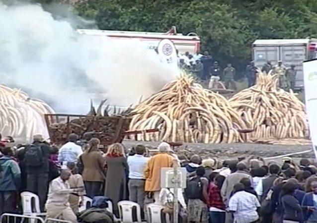 肯尼亚举行史上规模最大的象牙和犀牛角焚烧活动