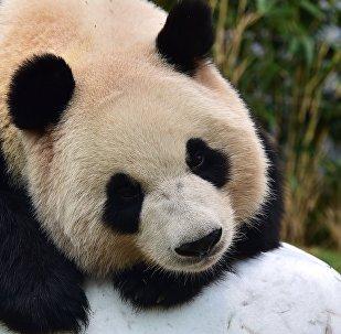 莫斯科動物園將派人員赴華學習養熊貓