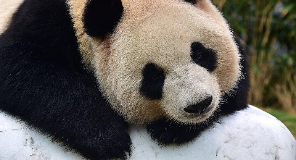 中国成都两只大熊猫或将入住莫斯科动物园