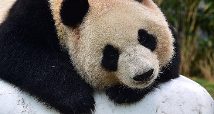 2016年首只大熊猫宝宝在中国降生