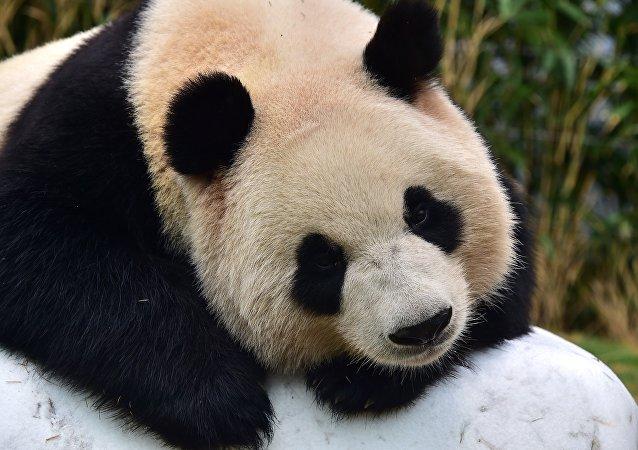 """外媒:荷兰迎来""""熊猫热潮"""""""