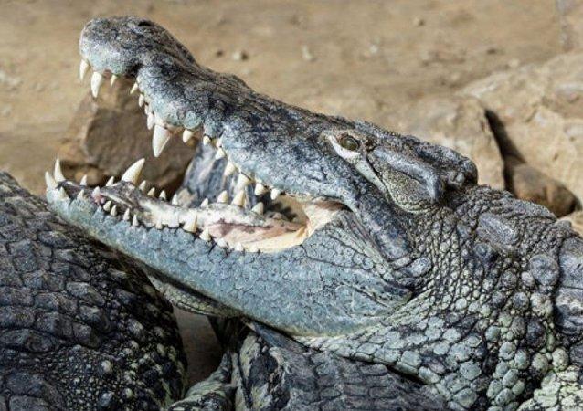 鳄鱼吃掉了一名南非专职猎人