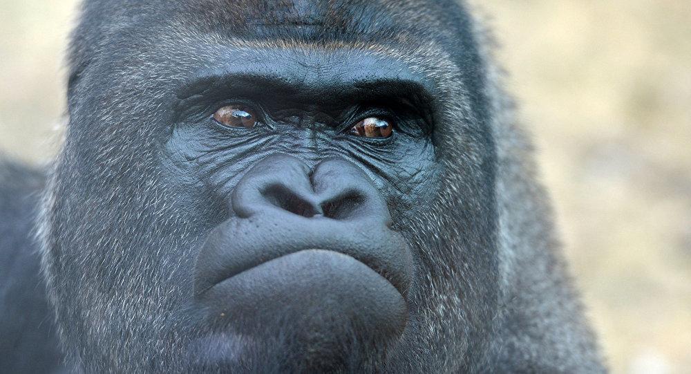 俄亥俄州动物园员工将孩子所落入兽笼的大猩猩射杀