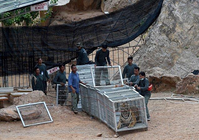 """泰国当局在""""虎庙""""发现40只死虎"""
