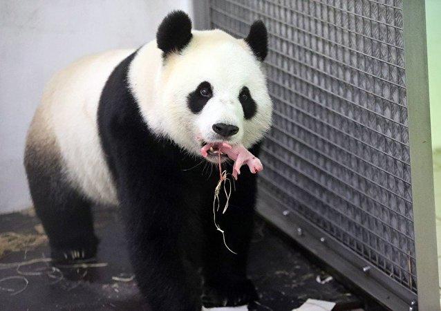 比利时天堂动物园大熊猫生宝宝了