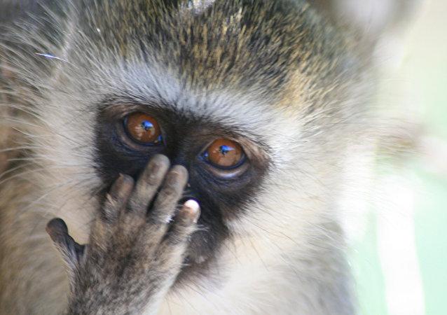 肯尼亚全国停电只因一只猴