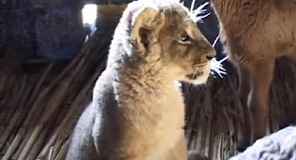達吉斯坦一隻母獅瑪什卡幫助牧人保護綿羊