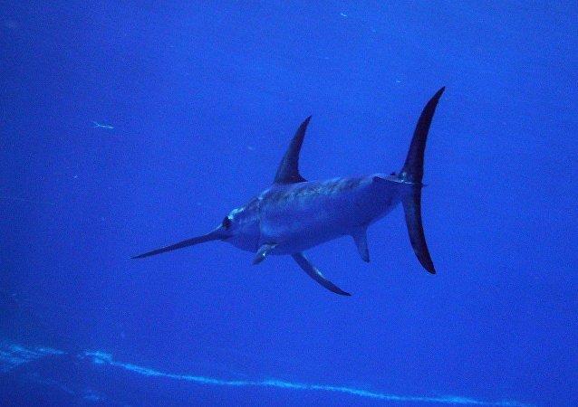 旗鱼不可思议的速度揭秘