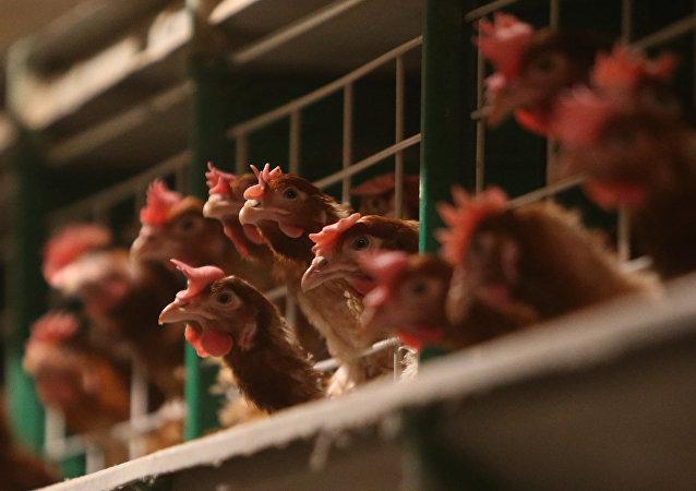 日本爆发禽流感疫情50万只鸡被扑杀