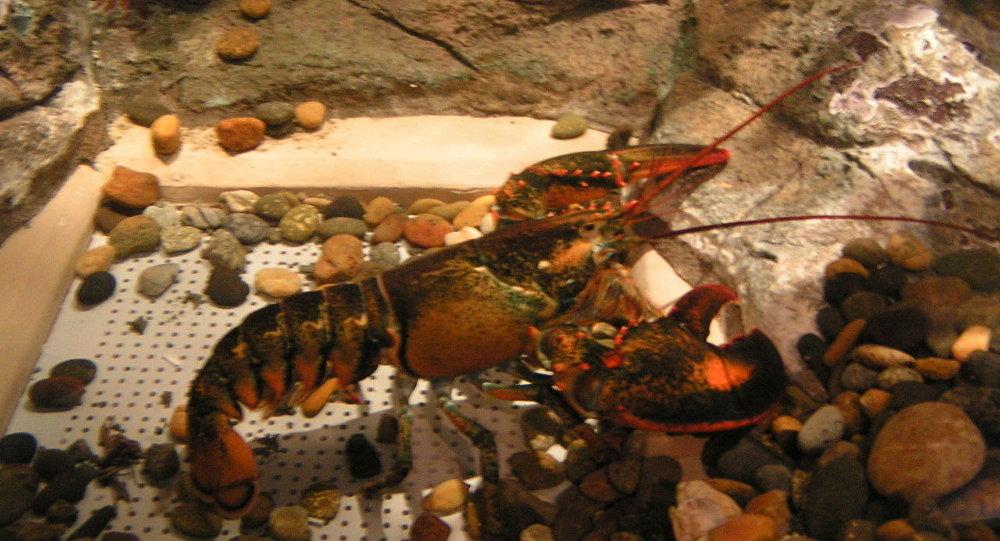 加拿大的一些僧侣将272公斤虾放生