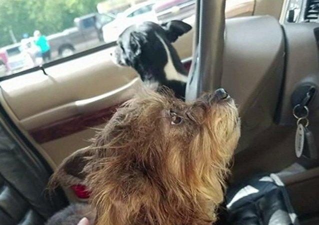 两只狗开车