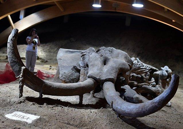 猛犸象骨头