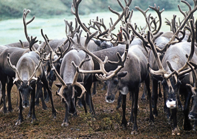 俄亚马尔半岛已有约5.8万头驯鹿接种炭疽疫苗