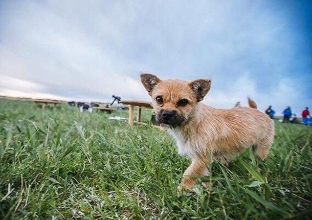一只流浪狗在马拉松赛上穿越戈壁沙漠跑了 100 公里