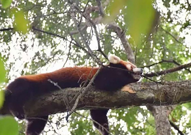 在中国发现了一只从动物园逃脱的小熊猫