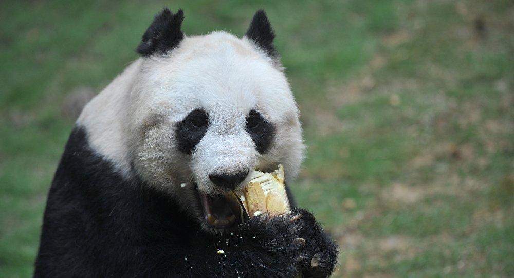 世界最长寿大熊猫38岁了