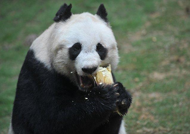 世界自然基金会中国总干事:野生大熊猫仍面临严峻生存风险