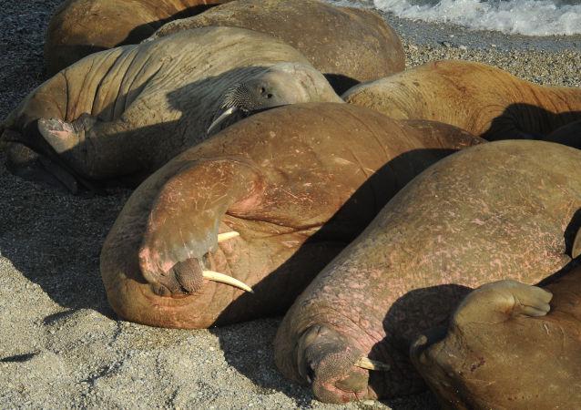 4000头海象来到楚科奇北部科柳钦岛沿岸
