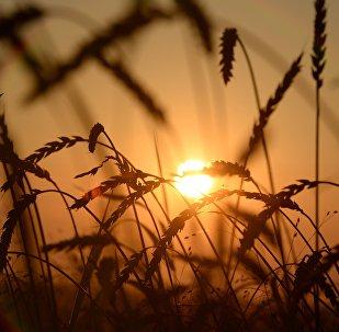 俄动植物检疫局:2017年俄粮食及其加工产品出口量达5千万吨
