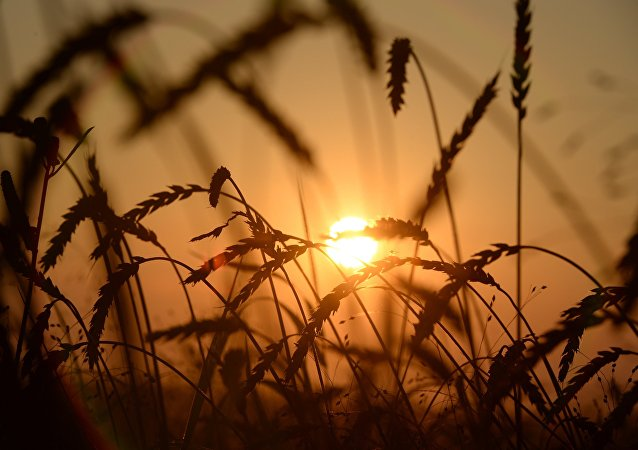 俄经发部支持取消小麦出口关税