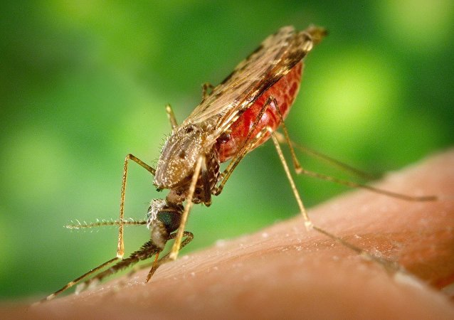 Комар Anopheles albimanus