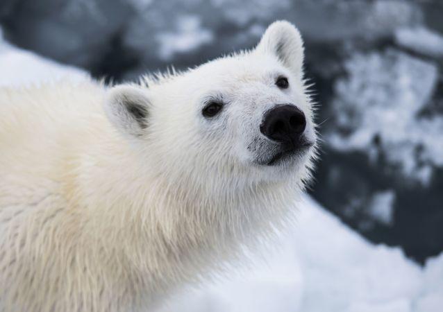 俄楚科奇半岛发现一只落单的北极幼熊 专家正在为其寻找动物园