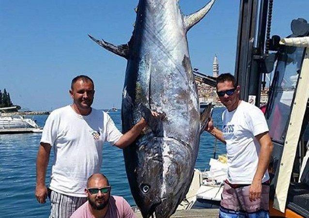 克罗地亚捕到一条340千克的金枪鱼