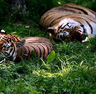 俄中及其他國家學者將在俄哈巴羅夫斯克討論保護老虎種群問題