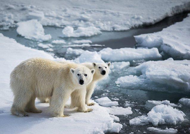 一群白熊妨碍了在北极岛屿上的极地气象站工作