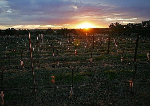 中国威龙正在吞吃澳大利亚葡萄园