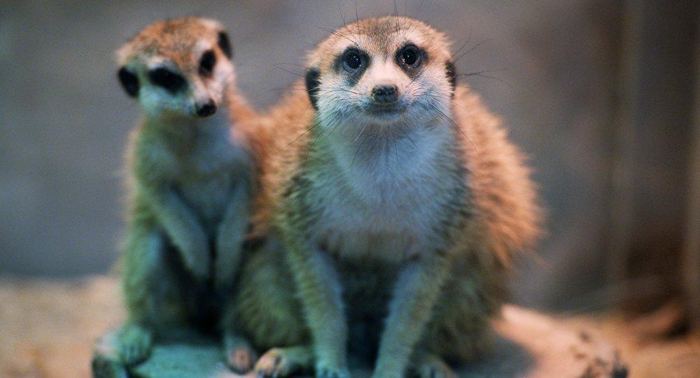 科学家:狐獴是最残忍的哺乳动物