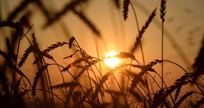 俄克拉斯诺亚尔斯克边疆区将扩大对华小麦供应
