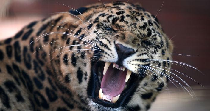 俄科学家2017年在滨海边疆区发现100多头远东豹