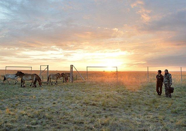 普京把普氏野马从兽栏放生到奥伦堡州国家自然保护区主要区域