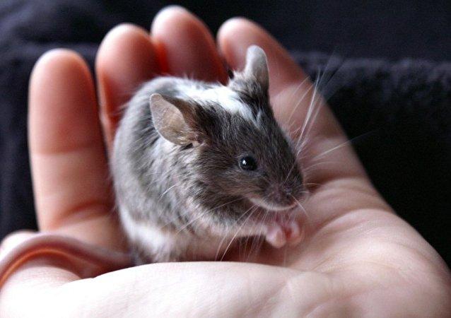 科学家弄清了老鼠是如何发出小夜曲声音的