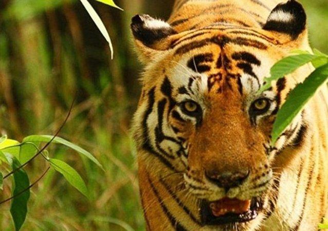 一只孟加拉虎
