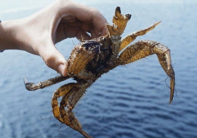 俄罗斯活雪蟹