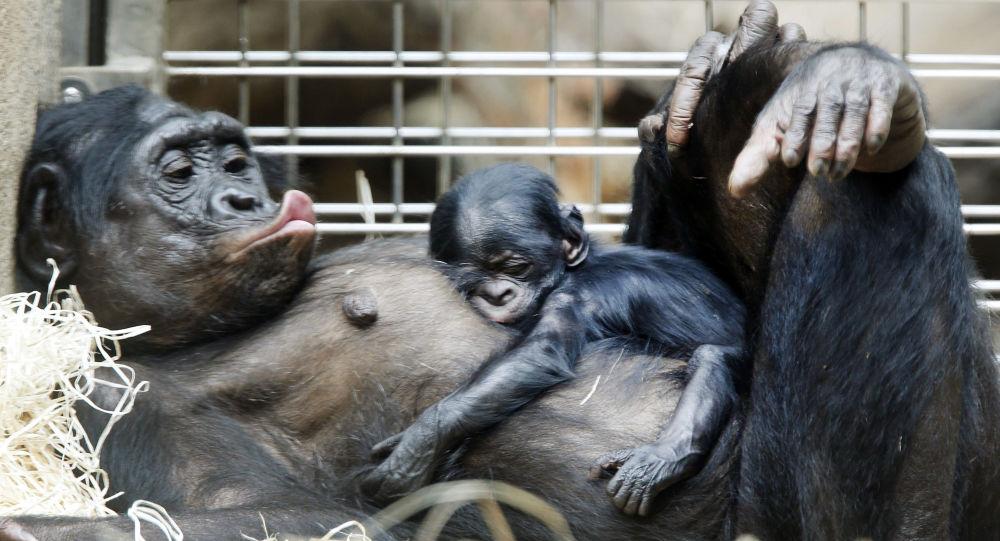 黑猩猩的「床」比人的要乾淨