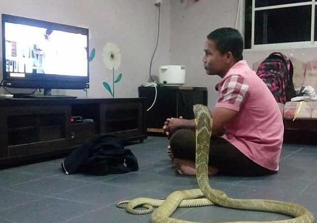 一名男子与东南亚的一条三米长的眼镜蛇结婚