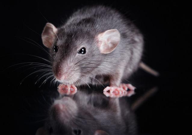 一英国人被自家宠物鼠咬伤后死亡