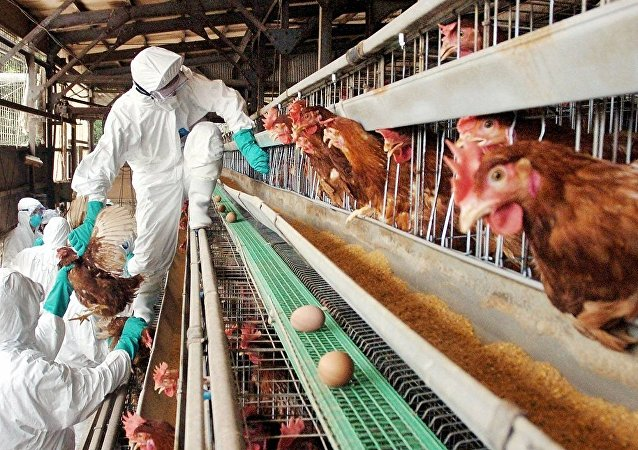 """日本因""""禽流感""""销毁成千上万家禽"""