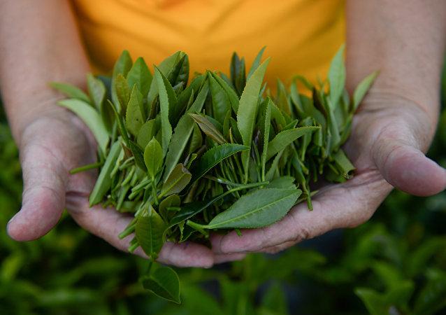 中国植物学家破解茶的基因密码